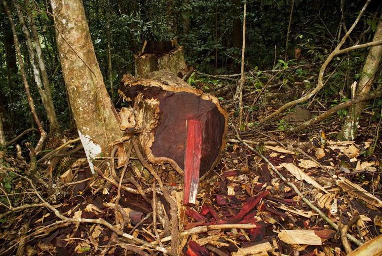 Illegal gefällter Rosenholz-Baum im Marojejy National Park, Madagascar