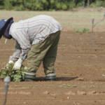 migrant worker field Besonders in der Landwirtschaft werden Immigranten unter inakzeptablen Bedingungen beschäftigt.   Bild (Ausschnitt): © CC-BY - Wikimedia Commons