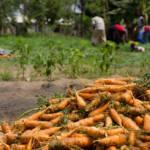 Karottenernte in Westafrika | Bild (Ausschnitt): © Chad Skeers [CC BY 2.0] - Flickr