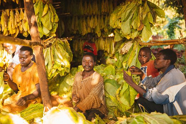 Trocknen von Tabakpflanzen in Malawi
