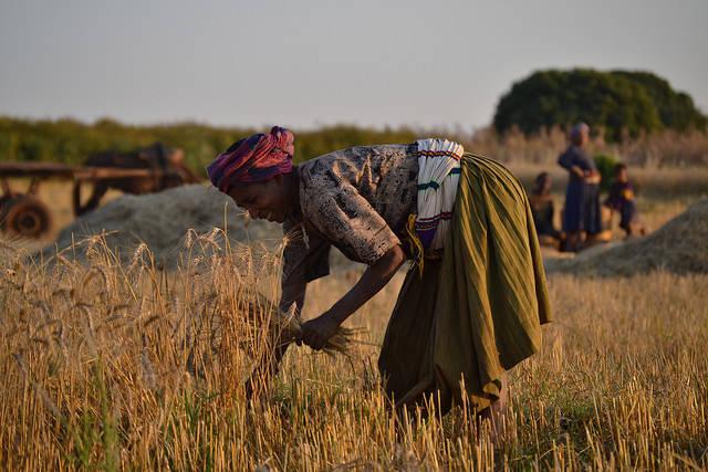 Erntehelferin Äthiopien  Bild: © Synergos Institute [CC BY 2.0]  - Flickr.com