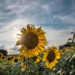 Sonnenblumenfeld Die zuerst sehr optimistischen Annahmen über die Nachhaltigkeit von Agro-Kraftstoffen mussten in den letzten Jahren immer weiter korrigiert werden. | Bild (Ausschnitt): © Anthony Doudt [CC BY-NC-ND 2.0] - Flickr