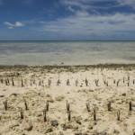 Kiribati An Kiribatis Küsten werden zum Schutz vor den Fluten Mangroven geflanzt | Bild (Ausschnitt): © United Nations Photo [CC BY-NC-ND 2.0] - Flickr