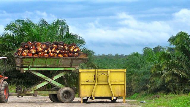 Das internationale Unternehmen Socfin vergrößert seine Palmölplantagen in Afrika und vertreibt für Landeinnahmen mittels Gewalt die Kleinbauern und indigenen Gemeinschaften   |  Bild: © Rainforest Action Network [CC BY-NC 2.0]  - flickr
