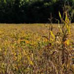 Jährlich werden in Argentinien knapp 200 Millionen Liter giftiges Glyphosat über die Sojafelder versprüht | Bild (Ausschnitt): © Randall Pugh [CC BY-NC 2.0] - flickr