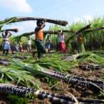 Zucker Plantage Arbeiter | Bild (Ausschnitt): © Gnanamclicks [Unbegrenzte Sitze (U-EL)] - dreamstime