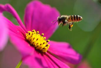 Bienen Das große Bienensterben betrifft sowohl den Globalen Norden als auch den Globalen Süden    Bild: © Yuan [CC BY-NC-ND 2.0]  - Flickr
