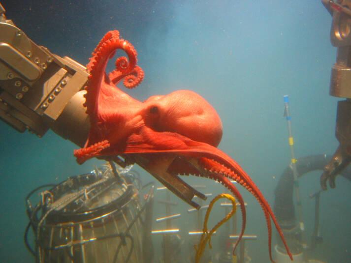 Der Raubbau in der Tiefsee stellt eine massive Bedrohung für uns und unsere Umwelt dar. Er könnte zu Artensterben und Umweltverschmutzung führen sowie den Klimawandel vorantreiben. Der Raubbau in der Tiefsee stellt eine massive Bedrohung für uns und unsere Umwelt dar. Er könnte zu Artensterben und Umweltverschmutzung führen sowie den Klimawandel vorantreiben. |  Bild: © NOAA Ocean Exploration & Research [CC BY-SA 2.0]  - flickr