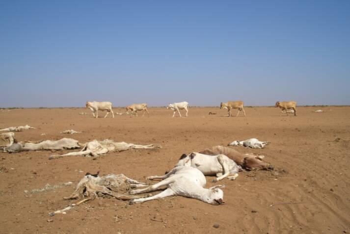 Verendete Ziegen aufgrund einer Dürre in Kenia    Bild: © Oxfam International [CC BY-NC-ND 2.0]  - flickr