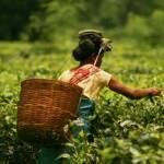 In Assam arbeiten Teepflückerinnen und Teepflücker für Hungerlöhne und unter schlechtesten Bedingungen. | Bild (Ausschnitt): © Akarsh Simha [(CC BY-SA 2.0) ] - flickr