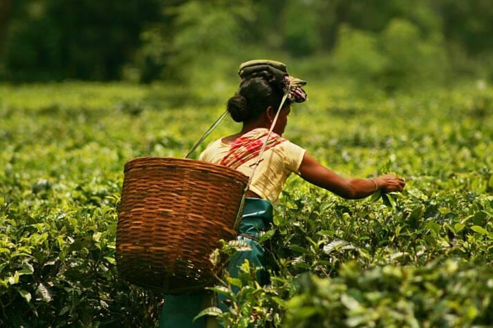 In Assam arbeiten Teepflückerinnen und Teepflücker für Hungerlöhne und unter schlechtesten Bedingungen |  Bild: © Akarsh Simha [(CC BY-SA 2.0) ]  - flickr