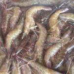 Shrimps Der Bau von Aquafarmen für die Shrimps-Zucht führt immer wieder zu Konflikten mit der Bevölkerung | Bild (Ausschnitt): © pinay06 [CC-BY-2.5] - Wikimedia Commons